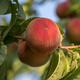 Sunhigh Peach