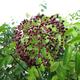 Wild Michigan Elderberry