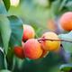 Wenatchee Moorpark Apricot