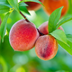 Redskin Elberta Peach