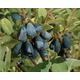 Blue Velvet Honeyberry