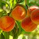 Tex Star Peach