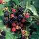 Illini Hardy Blackberry