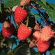 Caroline Red Raspberry