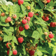 ColdHardy Raspberry Plant Collection