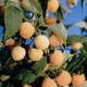 Fallgold Raspberry