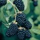 Ouachita Thornless Blackberry
