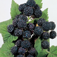 Munger Black Raspberry