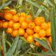 Leikora Seaberry