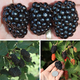 PrimeArk Blackberry Plant Collection