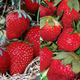 EasyCare Strawberry Plant Collection