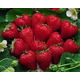 Stark Crimson King Strawberry
