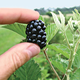 PrimeJan Blackberry