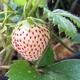 White Pineberry Strawberry
