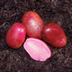 Adirondack Red Seed Potato