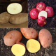 AllSeason Seed Potato Collection