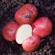 Chieftain Seed Potato