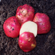 Dark Red Norland Seed Potato