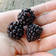 SemiTrailing Blackberry Plant Collection