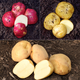 EarlySeason Seed Potato Collection