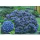Dooley Blue Hydrangea