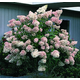 PG Hydrangea Tree