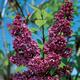 Charles Joly Burgundy Lilac