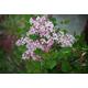 Josee Reblooming Lilac