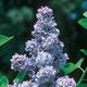 Ludwig Spaeth Purple Lilac