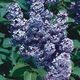 President Grevy Blue Lilac