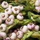 Early Italian Garlic