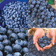 Bakers Blueberry Plant Collection