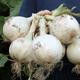 Ringmaster Onion