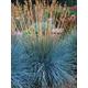 Festuca Boulder Blue Grass