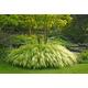 Golden Japanese Forest Grass