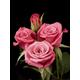 Deja Blu Miniflora Rose