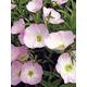 Pink Evening Primrose