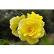 Smiley Face Climbing Rose