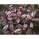 Midnight Wine Dwarf Weigela