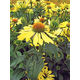Big Sky Sunrise Coneflower