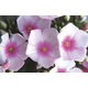 Bright Eyes Tall Garden Phlox