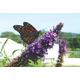 Dubonnet Lavender Butterfly Bush