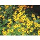 Goldsturm BlackEyed Susan