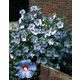 Hardy Hibiscus Shrub Blue Satin