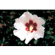 Hardy Hibiscus Shrub Blush Satin