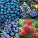 Edible Landscape Blueberry Plant Collection