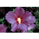 Hardy Hibiscus Shrub Violet Satin