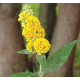 Honeycomb Yellow Butterfly Bush