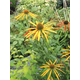 Mango Meadowbrite Coneflower