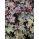 Purple Palace Heuchera